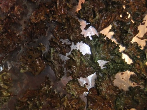 Crispy Kale Chips, right out of the oven