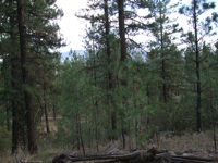 empowering forest pines pix 3